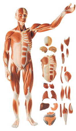 Muscles Of Male With Internal Organs